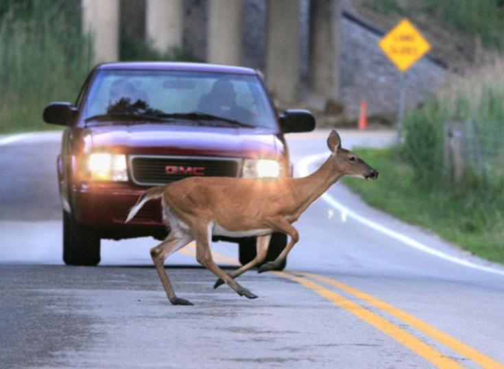 Autó előtt átszaladó állat